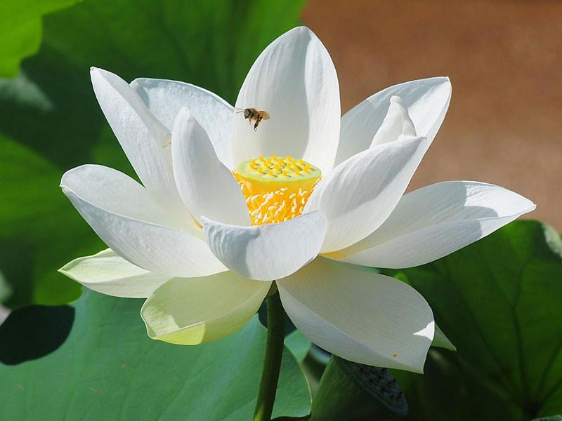 hoa sen trắng