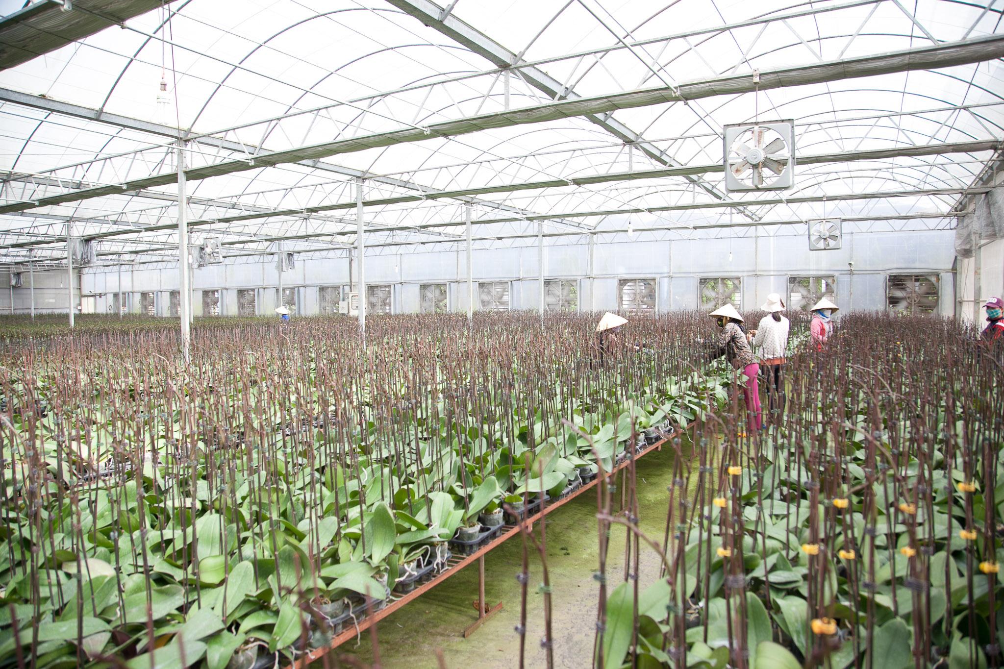 trồng lan hồ điệp trong nhà
