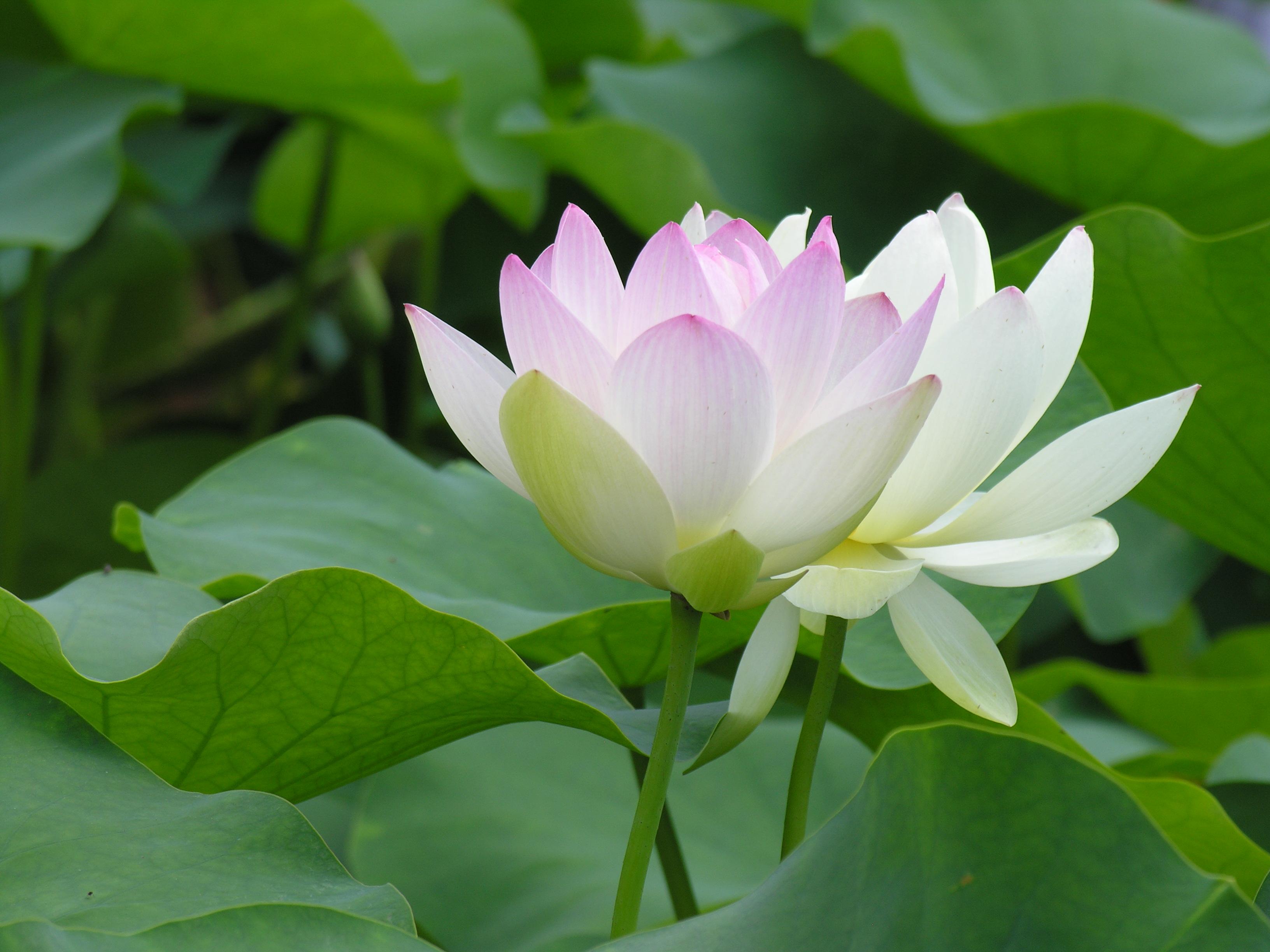 nguồn gốc hoa sen