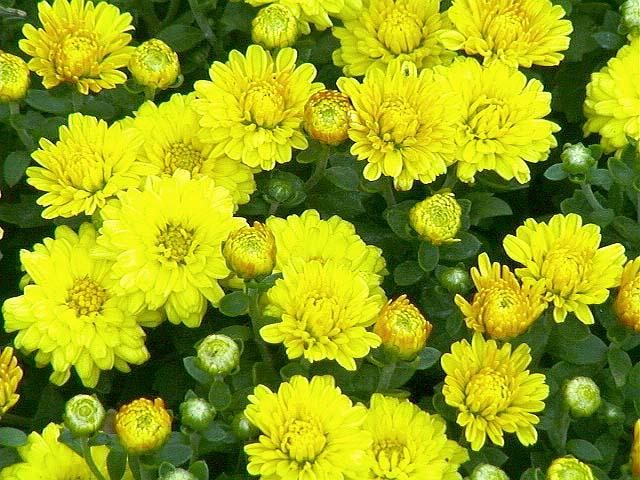 hoa cúc vàng